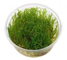 Creeping moss (Vesicularia sp.)
